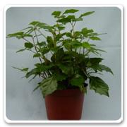 Ivy Cissus Grape