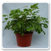 Ivy Cissus Oak