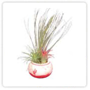 Tillandsia sw lotus pots