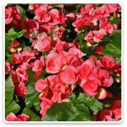 Begonia Reiger Dutch Series