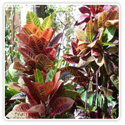 Croton (Assorted Varieties)