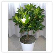 Gardenia Braid