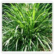 Grass Liriope Green/Variegated