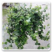 Hanging Basket Ficus Repens