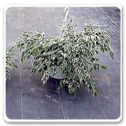 Hanging Basket Ficus Starlite