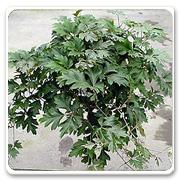 Hanging Basket Cissus Oak