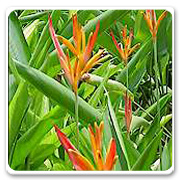 Heliconia Andromeda