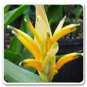 Heliconia Choconiana
