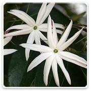 Jasmine Illicifolium