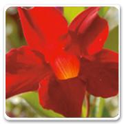 Mandevilla Crimson