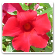 Mandevilla Giant Crimson