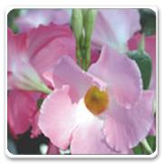 Mandevilla Giant Pink