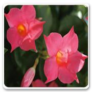 Mandevilla Pink