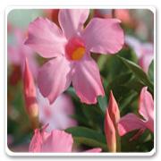 Mandevilla Pretty Pink