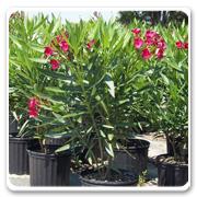 Oleander Bush Red