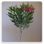 Oleander Standard