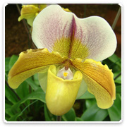 Orchid Paphiopedilum