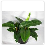 Philodendron Emerald Prince