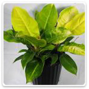 Philodendron (Assorted Varieties)