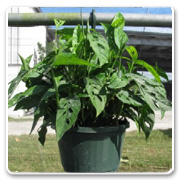 Hanging Basket Philodendron Swiss Cheese