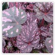 Begonia Rex Balck Annie