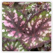 Begonia Rex Camelot
