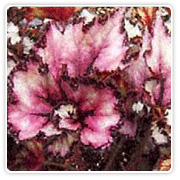 Begonia Rex Curly Emma