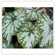 Begonia Rex Dalys