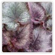 Begonia Rex Duarten