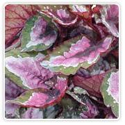 Begonia Rex Esther