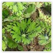 Begonia Rex Eyelashes