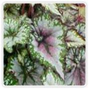 Begonia Rex Green Goddess