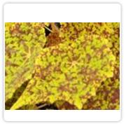 Begonia Rex Green Tiger