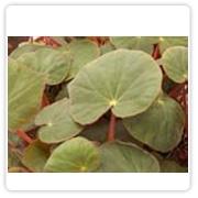 Begonia Rex Green Velvet
