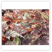 Begonia Rex Helen Teupel
