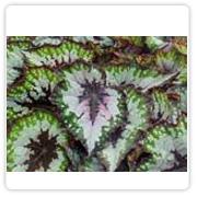 Begonia Rex Her Majesty