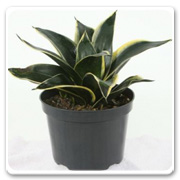Sansevieria Black Star