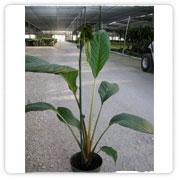 Tacca Bat Plant