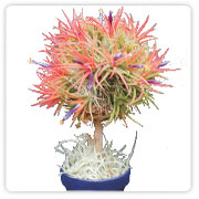 Tillandsia Topiary
