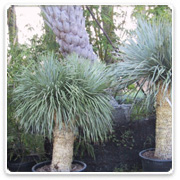 Yucca Rostrata 25 yrs old